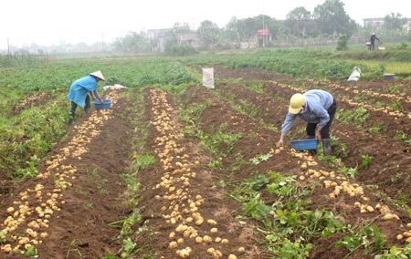 Kỹ thuật trồng khoai tây năm 2017