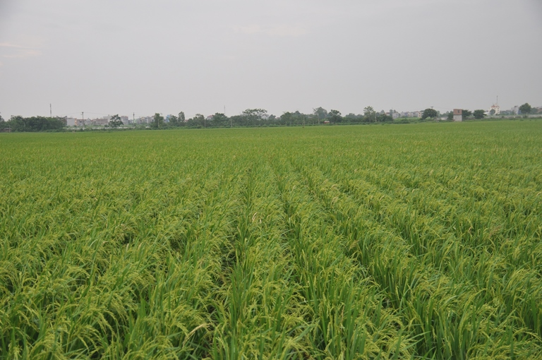 """Bắc Ninh: Nhân rộng diện tích cấy lúa theo phương pháp """"hiệu ứng hàng biên"""""""