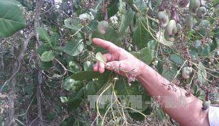 Bình Phước 'giải cứu' vườn điều héo khô do dịch bệnh